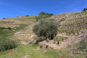 Les vignes de Saint Joseph